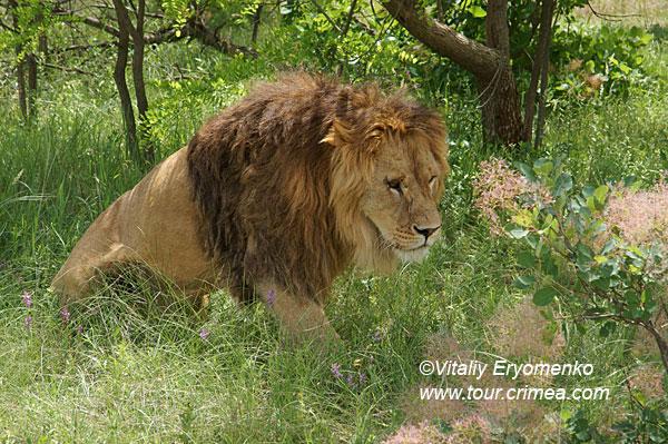 Прогулки со львами или майская поездка на электровелосипеде в парк львов «Тайган» -фоторепортаж.