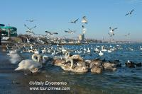 Зимний день с красавцами-лебедями в Феодосии