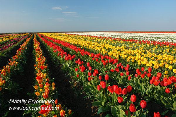 Крымская Голландия в с.Янтарном – тюльпановый рай – фоторепортаж